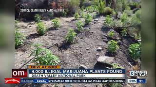 4,000 illegal marijuana plants found in Death Valley raid - Video