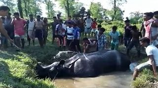 Heartwarming moment stranded rhino baby is adopted by Indian villagers - Video