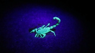 Scorpion glowing in the UV light - Video