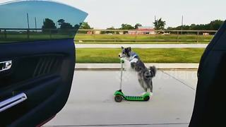 Border collie wins #InMyFeelingsChallenge by riding scooter