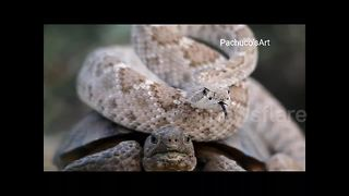 Rattle snake hitches hike on desert tortoise back - Video