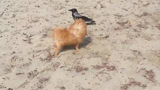 Incredible instant friendship between wild crow and dog - Video