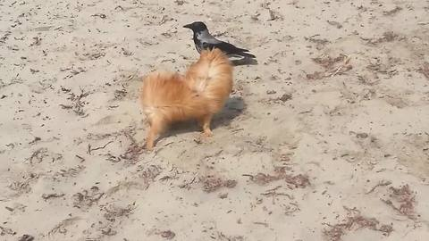 Incredible instant friendship between wild crow and dog