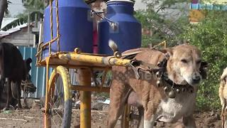 He never misses a round! Indian villagers love this dog who delivers milk by cart - Video