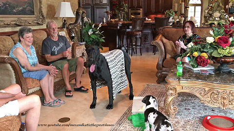 Great Dane and  New Puppy Enjoy a Visit with Friends