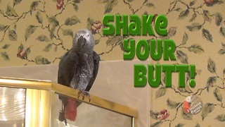 Parrot demands that you shake your booty - Video