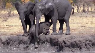 Slippin' and slidin': Baby elephant takes tumble getting out of mud bath - Video