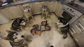 Pack of obedient huskies wait for command to eat