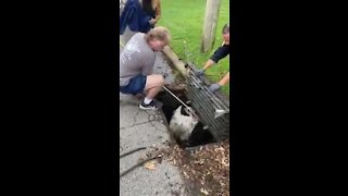 Police officers and wildlife rehabilitators rescue trapped swan from storm drain