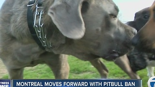 Montreal moves forward with pitbull ban - Video