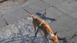 Chihuahua Pees in Unusual Stance