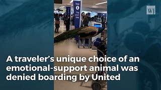 Traveler Attacks Airline After 'Emotional Support' Peacock Is Denied A Free Flight - Video