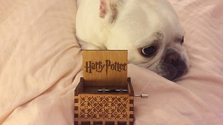Dog falls asleep to Harry Potter theme from Orgel music box - Video
