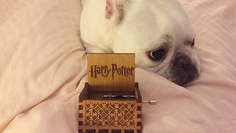 Dog falls asleep to Harry Potter theme from Orgel music box