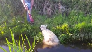 This Poor Sheep Gets Stuck in a River. Suddenly, a Man Comes by and Throw Off His Shoes.