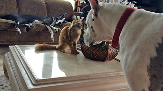Two Great Danes watch Cat play with Squirrel Stuffie