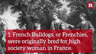 11 Fun and Furry Facts on the French Bulldog | Rare Animals - Video