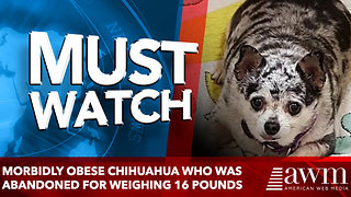 Morbidly obese Chihuahua who was abandoned for weighing 16 POUNDS - Video