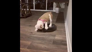 Bulldog Puppy Shows Robot Vacuum Who's The Boss