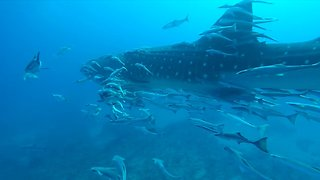 Huge Whale Shark Glides Past Divers in 'The Trench' off West Palm Beach - Video