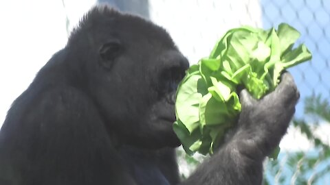 Selfish gorilla hoards all the lettuce for herself