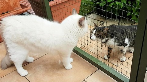 Innocent Ragdoll cat meets another cat outside for the first time