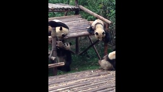 Adorable baby pandas enjoying playtime