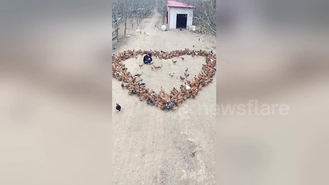 Creative farmer spreads feed to make chickens form heart-shaped pattern