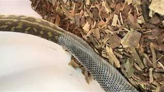 Scrub Python Slowly Sheds Its Skin for the Camera - Video