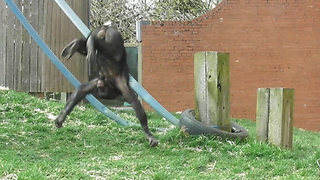 Athletic Ape Shows Off Back-Flip Skills - Video