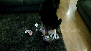 Henry the dog opens his Christmas present early - Video