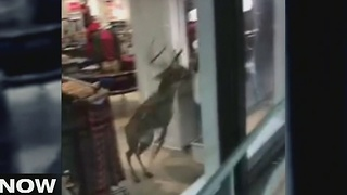 The Now Tampa Bay Deer & Eagle - Video