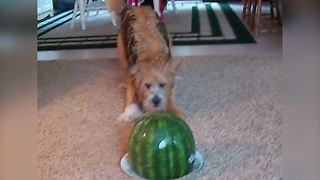 A Dog Barks At A Watermelon - Video
