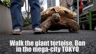 Patient Owner Walks His Tortoise On The Streets Of Tokyo - Video