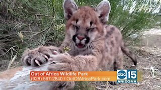 Out of Africa: Meet Sage the mountain lion!