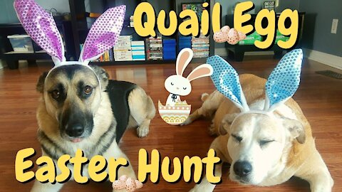 Quail Egg Easter Hunt For My Gerberian Shepsky and Lab\Pitbull Mix