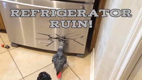 Parrot investigates and attempts to destroy refrigerator