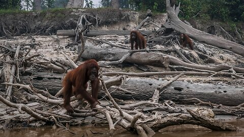 Fires Tied To Palm Oil Industry Ravage Indonesia Forests
