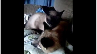 Siamese cat and red fox share rare animal friendship