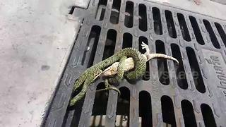 Tokay gecko lizard escapes from snake