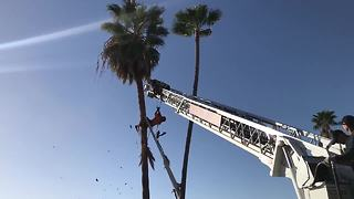 RAW VIDEO: Firefighters rescue man trapped in palm tree - Video