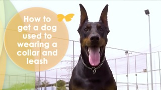 How to Get a Dog Used to Wearing a Collar and Leash - Video