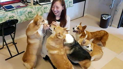 NZ tourists discover world first Corgi Café while visiting Japan