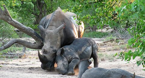Itchy rhino calf gets interrupted by his mother while enjoying a body scratch