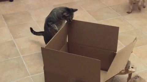 Curious feline simply can't resist cardboard box