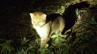 Beautiful footage shows one of the world's most threatened felines in the wild