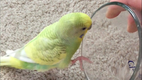 Cute parakeet takes a bath in owner's glass of water