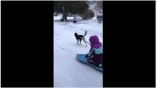 Snow Dog Husky Pulls Kid On Sled Down The Street