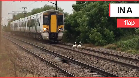 Funny moment family of swans cause chaos by refusing to get off train track