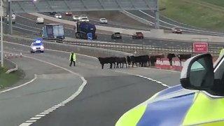 Udder Chaos on New Motorway as Cows Run Loose - Video